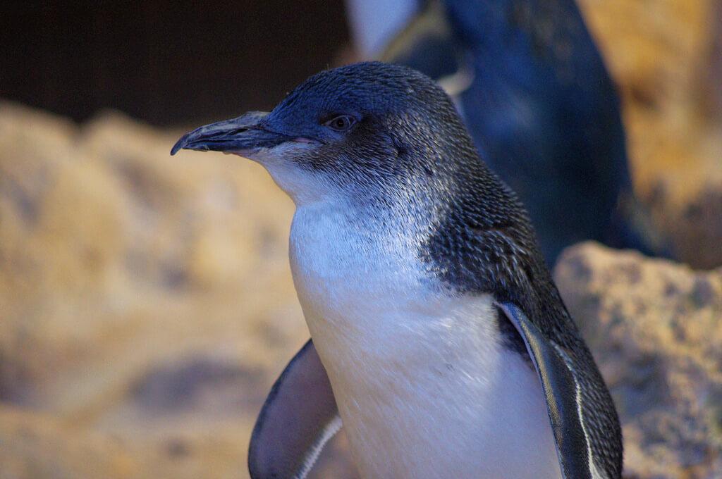 bucket list ideas - penguin parade