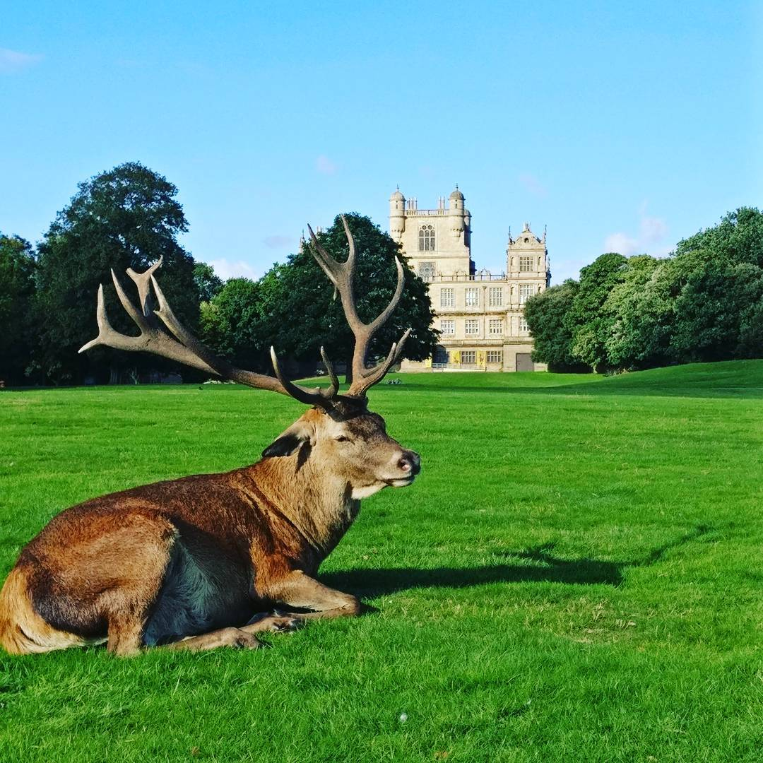 Deer relaxing on the grass outside Wollaton Hall in Nottingham