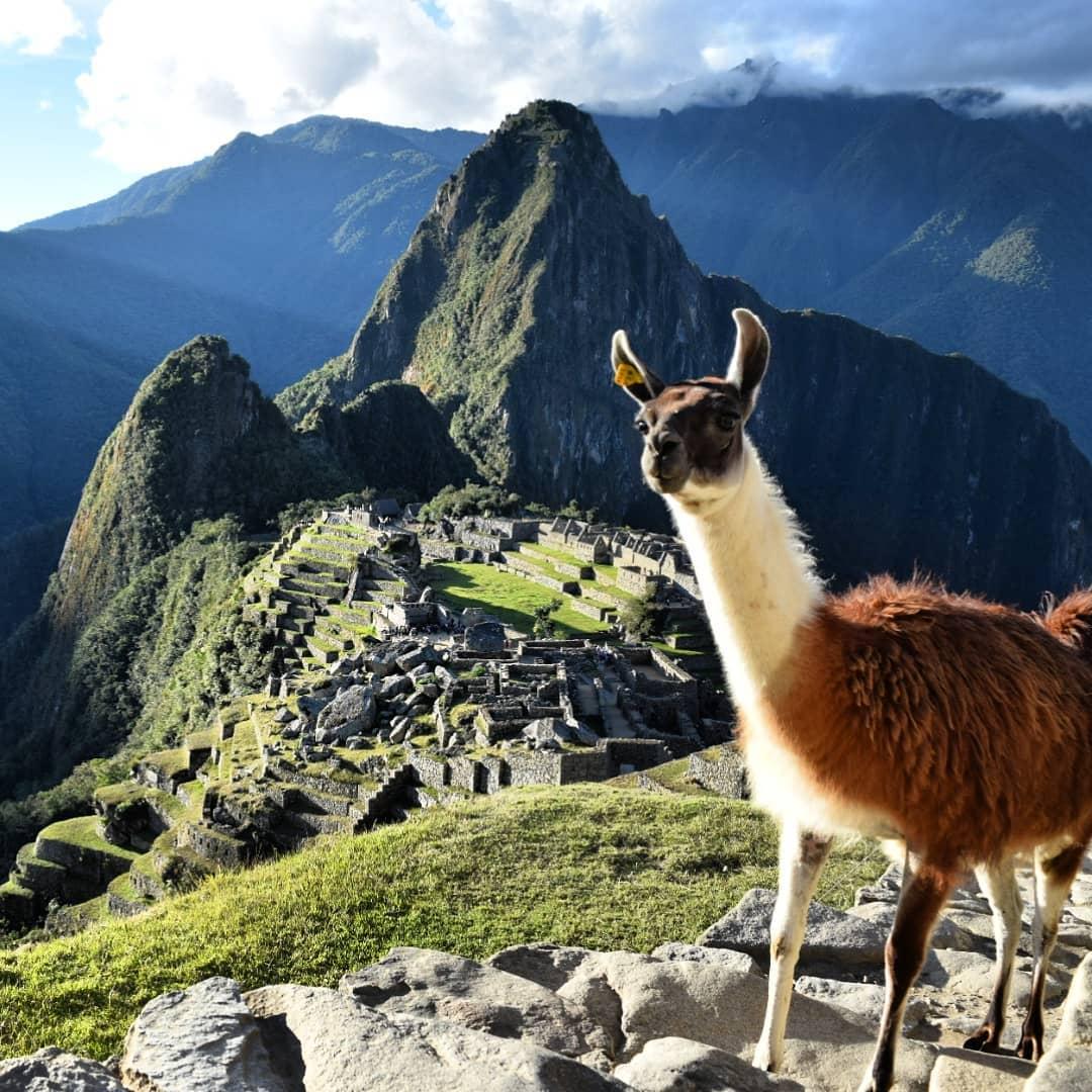 dove vedere i lama - perù