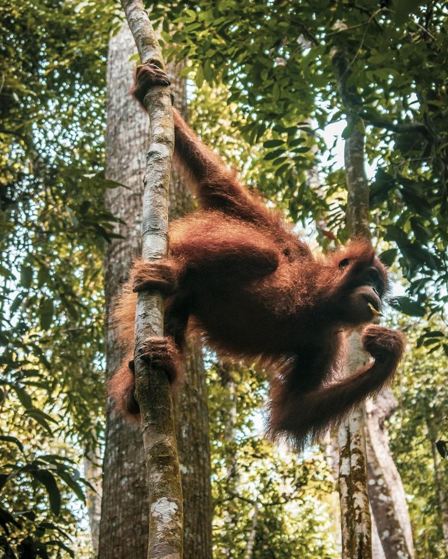 backpacking Malaysia - things to do in Malaysian Borneo - wild orangutans