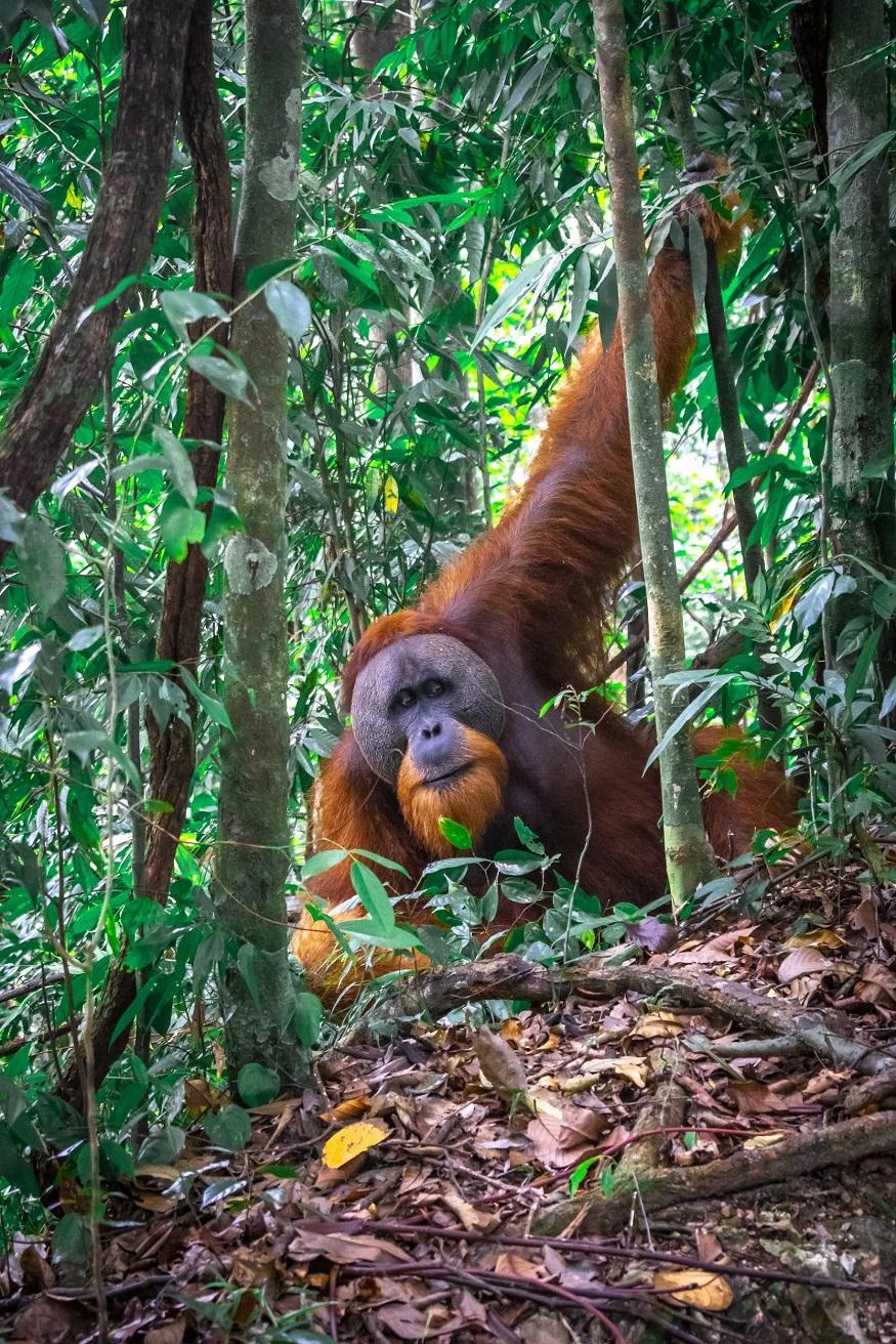 backpacking Malaysia - Malaysia Itinerary - orangutan