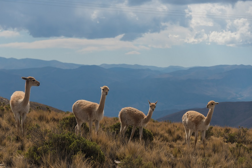 backpacking argentina - 4 baby alpacas
