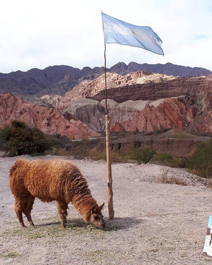 backpacking argentina - alpaca near flag