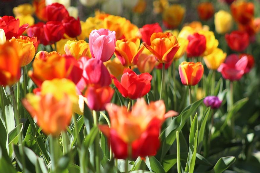 oxford cosa vedere - tulipani
