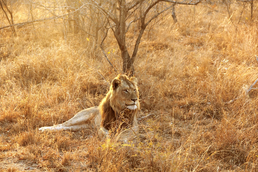 wildlife conservation projects, lion laying down at Kruger National Park, South Africa